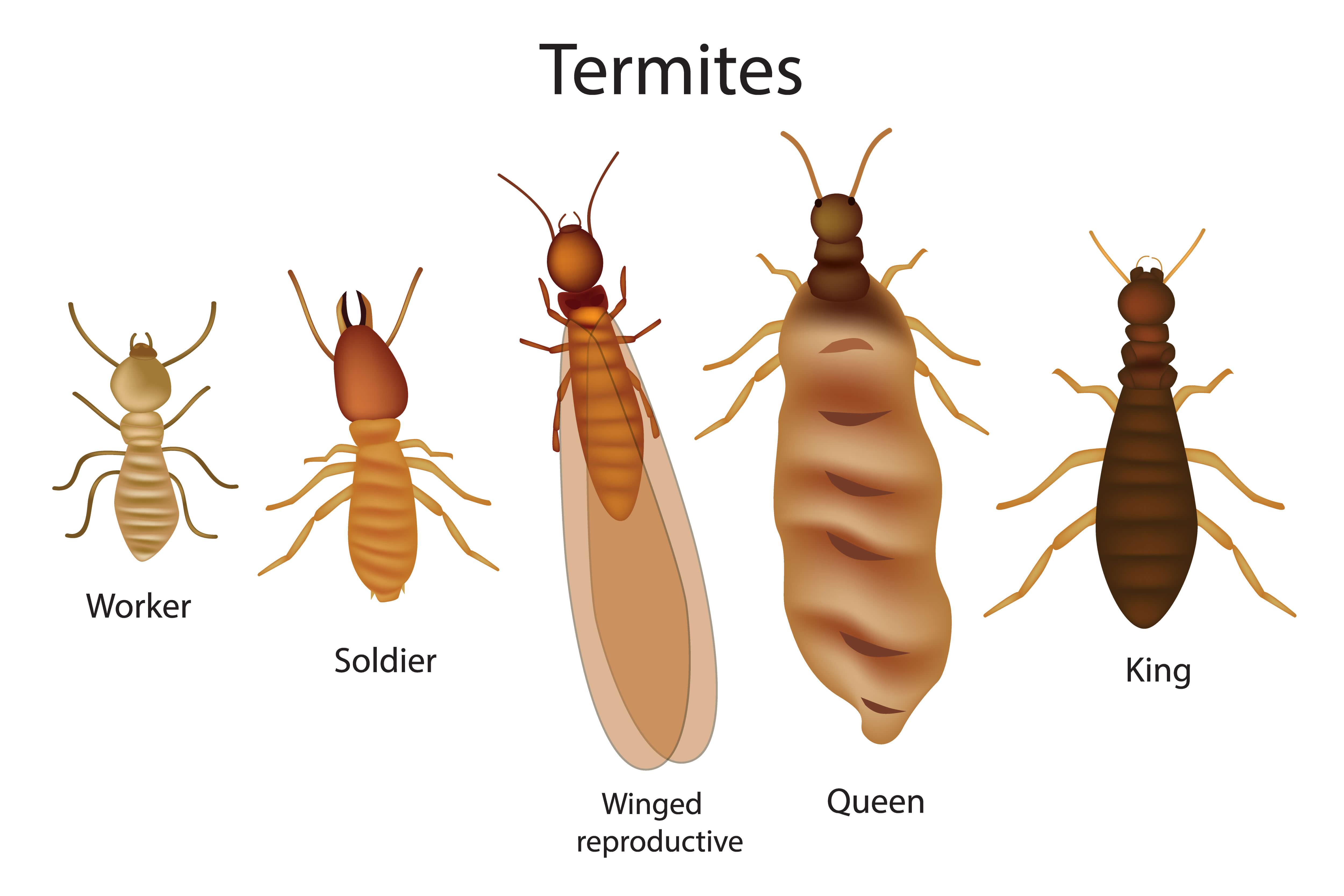 La termita es un xilófago tozudo.
