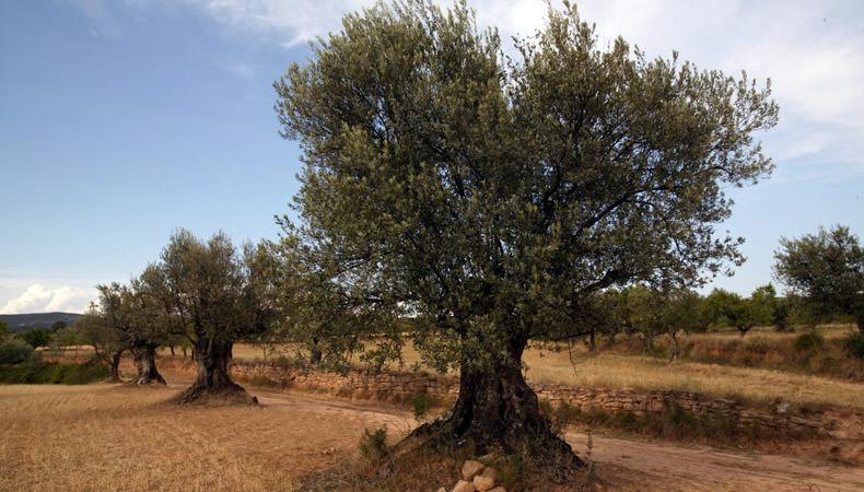 El ébola también afecta a los olivos.