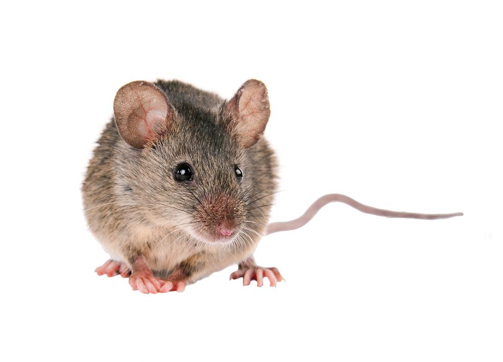 tratamiento contra los roedores en Fuenlabrada