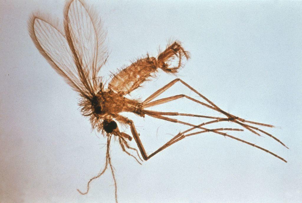 Los flebotomos y flebotominos son una subfamilia de dípteros nematóceros de la familia Psychodidae.