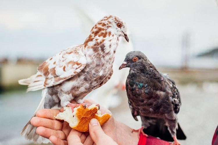 las palomas pueden transmitir enfermedades