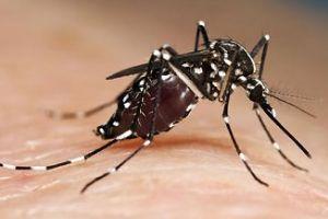 Fotografía de Mosquito tigre en proceso de picadura.
