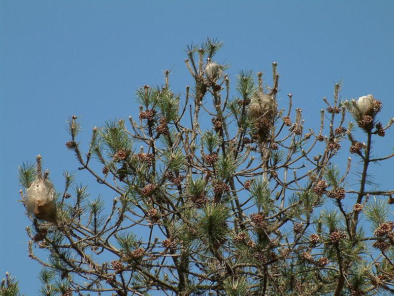 Dicho tratamiento dió comienzo el pasado 9 de octubre en la localidad y tiene como objetivo tratar 2.000 pinos y cedros censados en la localidad