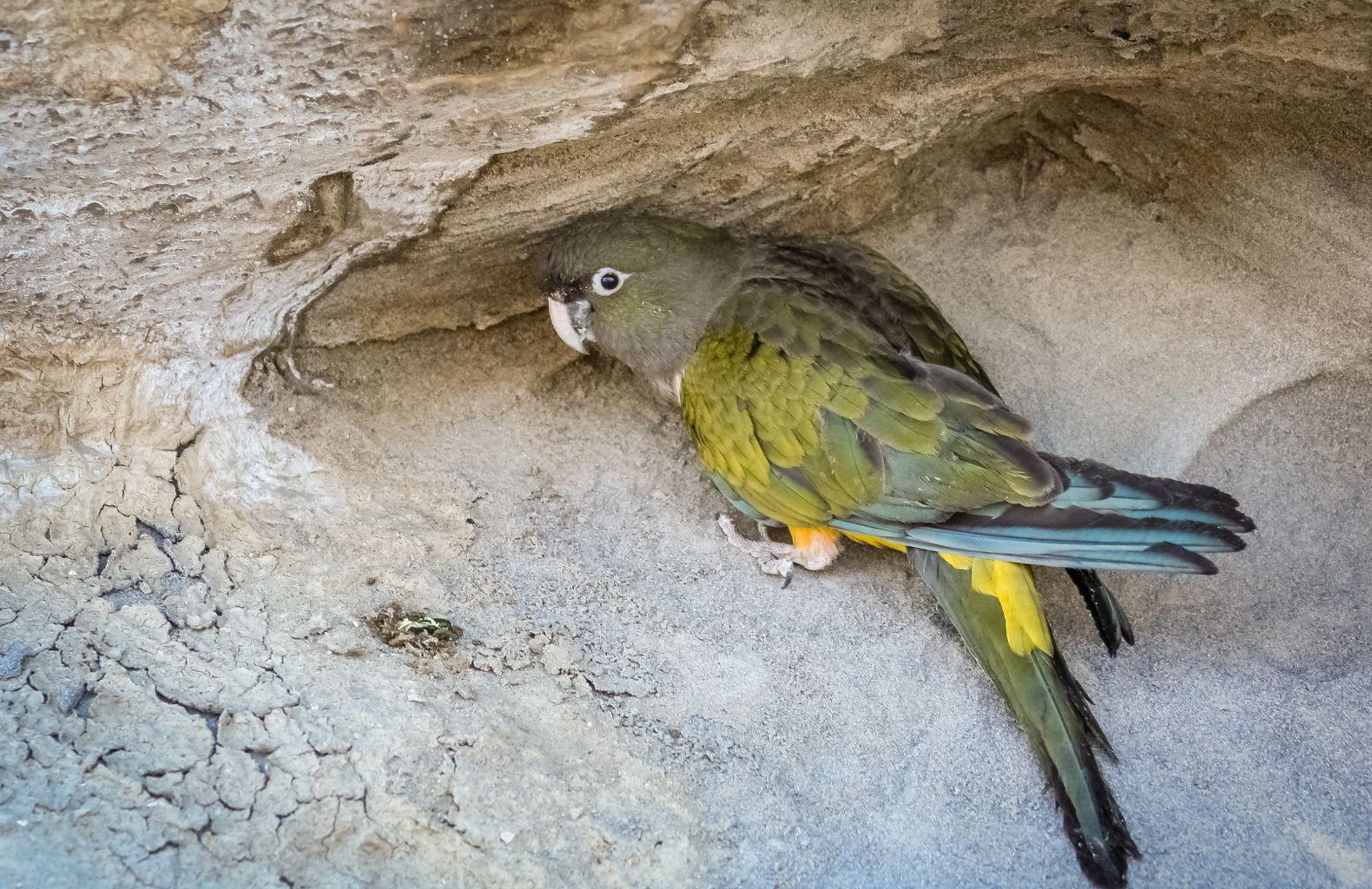 la cotorra argentina es un ave exótica invasora